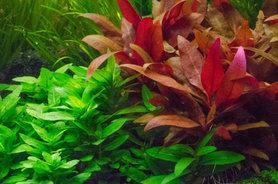 Alternanthera reineckii red ruby