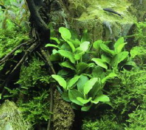 Anubias nana bonsai