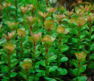 Ammannia species