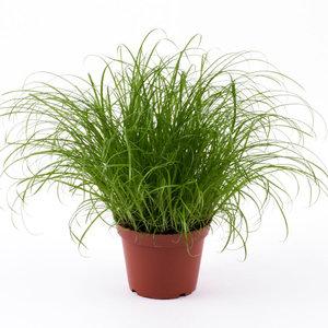 Kattengras plant