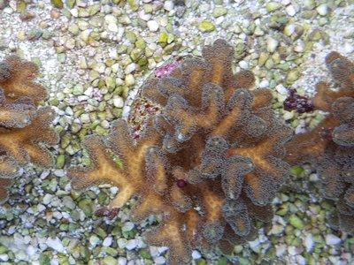Seriatopora calendrium